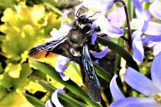 Ein Schwergewicht an zarter Blume: Blaue Holzbiene auf Blaustern. Foto: Hansjürgen Gerstner