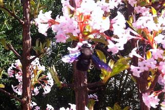 Am 25. März 2017 beobachtete Otfried Stiller eine Große Blaue Holzbiene. Zum Mittagessen besuchte sie einen herrlich duftenden, blühenden Schneeballstrauch in Grünau.