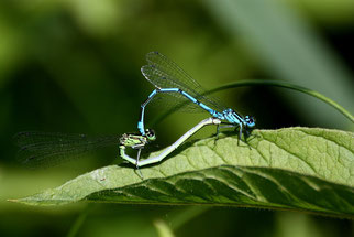 """Zur Befruchtung bilden Männchen und Weibchen der Hufeisen-Azurjungfer ein """"Paarungsrad"""". Die Eier werden in Gewässern abgelegt, wo sich dann die Larven dieser Libellen entwickeln."""