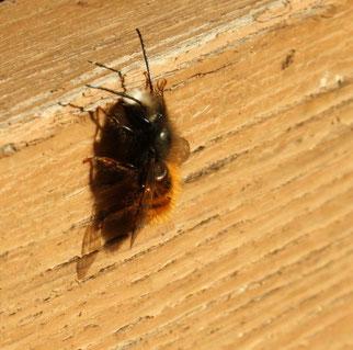 Frisch geschlüpfte männliche Mauerbiene. Fotos: Sabrina Rötsch