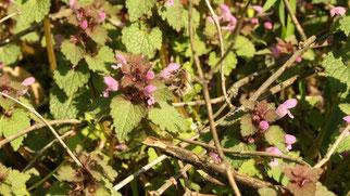 Frühlingspelzbiene an Taubnessel.