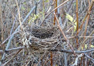 Einige Vogelarten, wie zum Beispiel die Mönchsgrasmücke, die dieses Nest gebaut hat, sind zum Nestbau auf dichte Sträucher angewiesen. Da Sträucher und dichte Hecken immer seltener werden, sind auch viele Freibrüter davon betroffen.