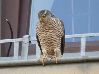 Aufmerksam beobachtet er die Taube unter sich.
