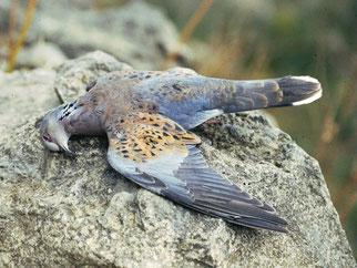 Geschossene Turteltaube. Foto: NABU/BirdLife Malta