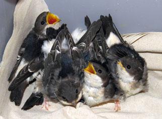 Schwalben-Pfleglinge in der Wildvogelhilfe des NABU Leipzig. Fotos: Karsten Peterlein