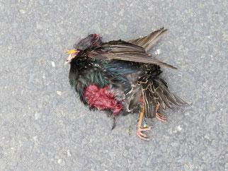 Verkehrsopfer Star: Dieser Vogel wurde in Kleinpösna überfahren. Foto: Karsten Peterlein