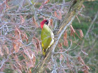 Besonderes Interesse galt bei der Stunde der Wintervögel dem Grünspecht, denn er ist Vogel des Jahres 2014. Foto: Karsten Peterlein