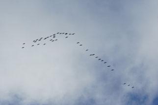 Saatgänse flogen hoch am Himmel über die Gartenanlage hinweg. Foto: René Sievert