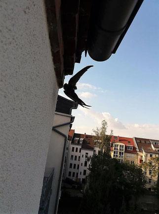 Dieser Mauersegler hatte sich am Nistplatz in einem Faden verfangen. Fotos: privat