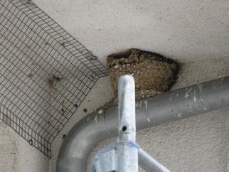 Mit Gitterdraht sollte der Nestbau verhindert werden, um Gebäudeverschmutzung mit Kot zu vermeiden. Für dieses Problem gibt es bessere Lösungen - der NABU Leipzig berät gerne.