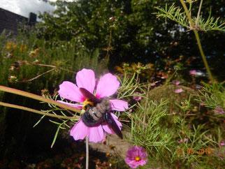 Am 22. August 2016 wurde in dem Garten erneut die Holzbiene gesichtet. Fotos: Christel Thiele