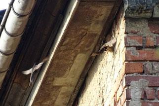 Mehrere Mauerseglernistplätze waren dem NABU bekannt. Die Informationen wurden der Naturschutzbehörde übermittelt und ein Baustopp erreicht. Fotos: NABU Leipzig