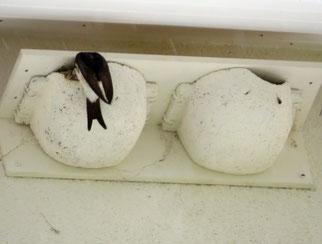 Erfolgreiche Schwalbenbrut in einer künstlichen Nisthilfe des NABU. Verschmutzungen durch Vogelkot sind bei dieser Bauweise nicht zu erwarten. Fotos: NABU Leipzig