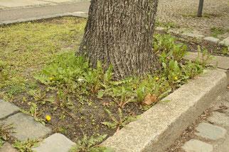 Baumscheibe mit Löwenzahn. 72 Wildbienenarten nutzen diese Pflanzenart.