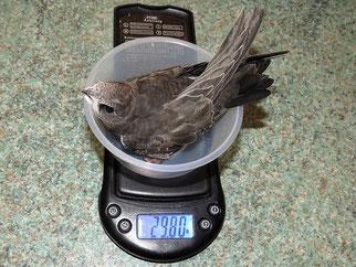 Einer von vier jungen Mauerseglern, die jetzt noch in der Wildvogelpflege aufgenommen wurden.