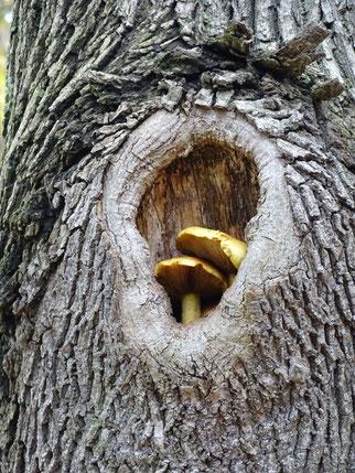 Nicht nur Tiere profitieren von höhlenreichen Bäumen.  In diesem Astloch haben sich Pilze angesiedelt.