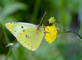 Die Goldene Acht ist Schmetterling des Jahres 2017. Foto:  NABU/Erich Hans-Dieter Knopf