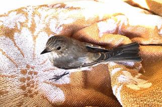 Dieser Grauschnäpper hatte Glück im Unglück. Nach einer Kollision im Straßenverkehr erholte er sich innerhalb von drei Tagen in der Wildvogelhilfe Leipzig.