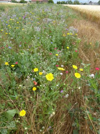 Blühläche des Projektes Grüner-Gürtel-Groß-Gerau