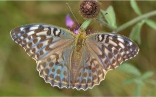 Dunkle Form eines Kaisermantel Weibchens