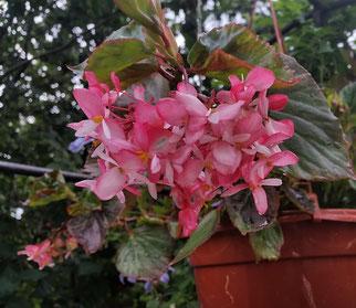 """Begonia """" Tea Rose"""""""