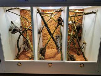 Strophurus ciliaris Terrarium