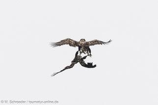 Seeadler bei waghalsigen Flugmanövern