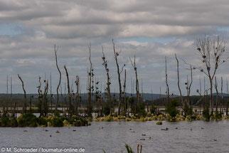 Kormorane an den Neukalener Moorwiesen