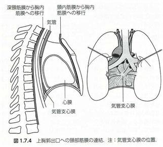 上胸郭出口への頸部筋膜の連結