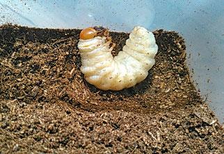 オオクワガタの前蛹。