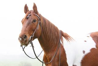 Fotovorlage für das Pferdegemälde von Paint Horse Weazle