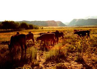 auch die Kühe strebten heim in den Stall