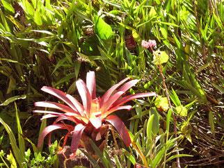 die einzige Blume in Machu Picchu
