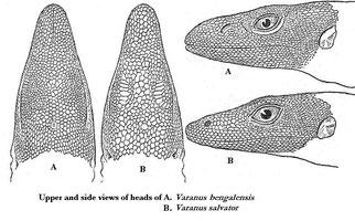 Kopfstudien von Bengalenwaran (V. bengalensis) und Bindenwaran (V. salvator)