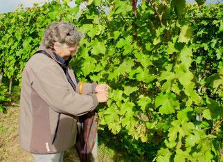Hanni beim Trauben-Pflücken im obersten Weinberg