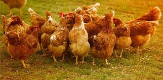 Hühner Wiese
