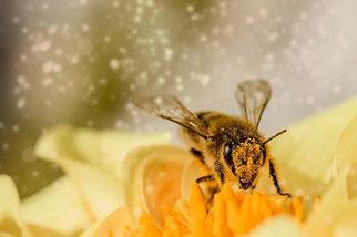 Biene Blüte Bestäubung