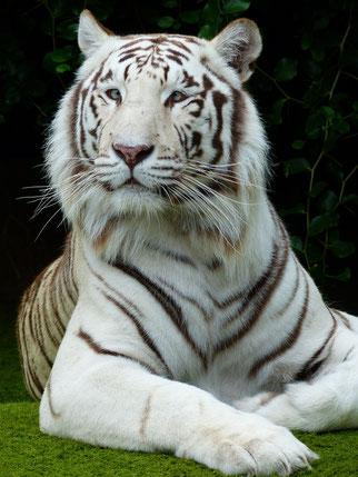 寄り目のホワイトタイガー