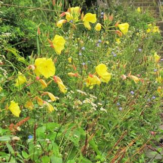 マツヨイグサ…「宵待草」の響きが好きです