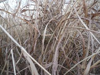 ④2013年1月1日。河川敷のノギナシセイバンモロコシ