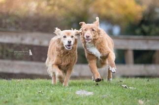 Mali und Nova im Laufschritt - Foto: © Sitz und Blitz Hundefotografie