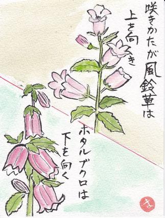 風鈴草とホタルブクロ