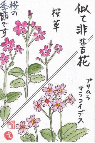 桜草とプリムラ