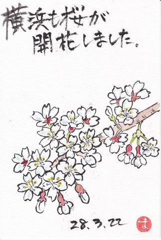 桜、横浜で開花