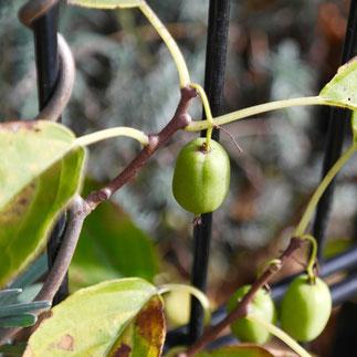 kiwibes klimplant