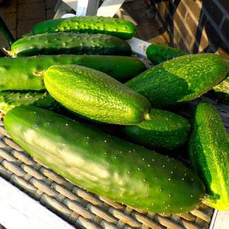 komkommers kweken oogsten
