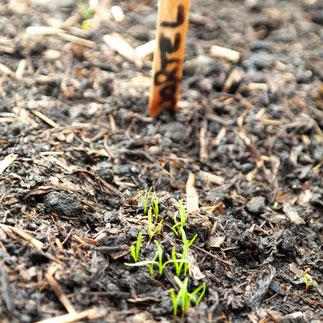 wortels kweken zaden ontkiemen