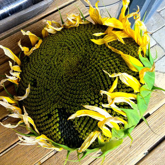 zonnebloem zaaien drogen zonnebloempitten oogsten