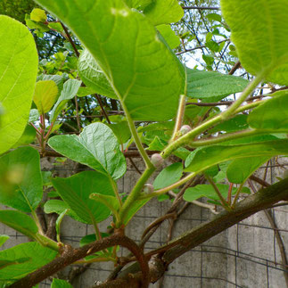 kiwi klimplant