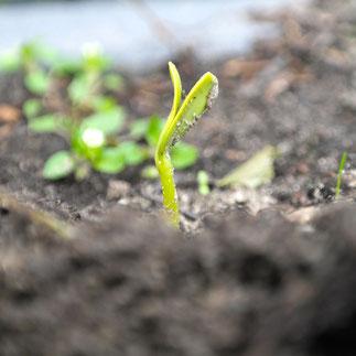 zonnebloem zaaien kweken groeien zonnebloempitten